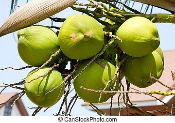 cocos, palma, árvore