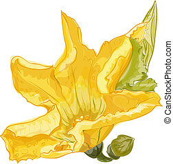 Zucchini flower on a white background. Vector image.