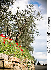 Tuscan Poppies and Olive trees. Toned vignetted shot