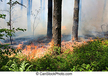 Forest fire - Fire burning in a pine forest .