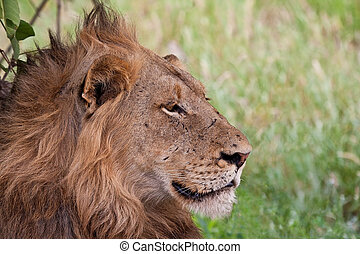 Male lion lying in the shade