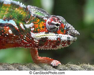 Chameleon 01 - The chameleon creeps on a cord
