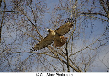 Hawk flying with wings spread