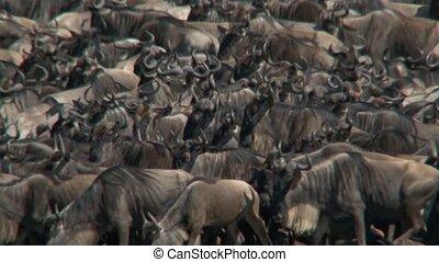 Wildebeest - Herd of Wildebeests packed together before...