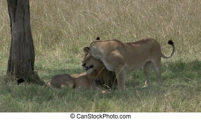 Lion and Lioness courtship