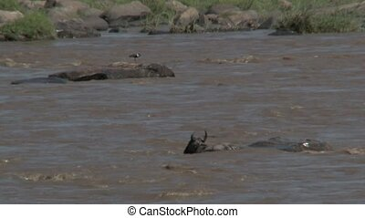 Wildebeest stucked under a rock while crossing the Mara...