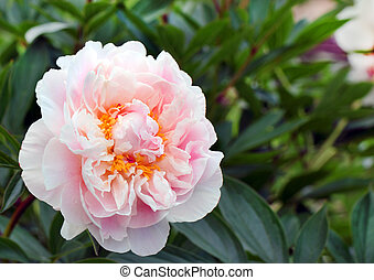 Tender rose peony over the green leaves