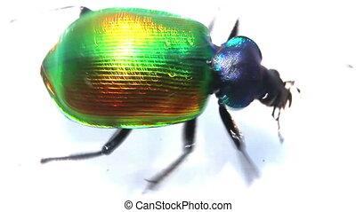 large green beetle running macro - slow motion