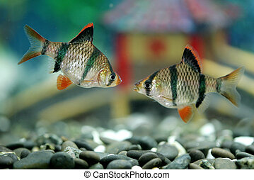 Tiger barbs - A pair of tiger barbs