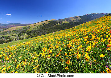 Yellowstone Summer Scenery - Beautiful yellow wildflowers...