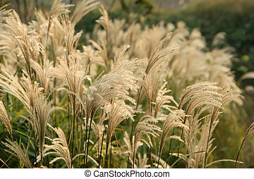 reed  - a kind of plant named reed