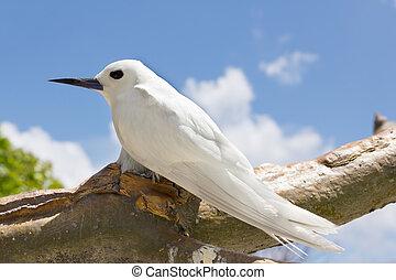 Tropical bird - Feiry Tern - The Fairy Tern Bird (or holy...
