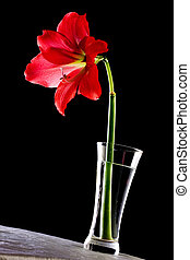 Red Hippeastrum flower in a vase on a table against black...