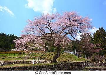 Japanese cherry tree - Name is Zenbeezakura old cherry tree,...