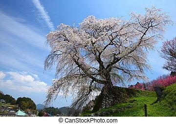 Japanese cherry tree - Name is Matabeezakura old cherry...