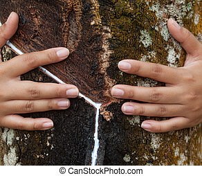 Rubber tree plantation - Asian woman hugging a latex tree in...