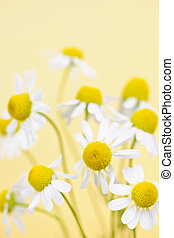 Chamomile flowers close up - Closeup of chamomile flowers on...