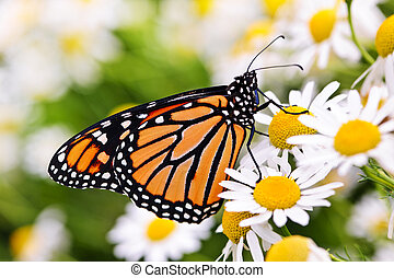 Monarch butterfly on flower - Colorful monarch butterfly...