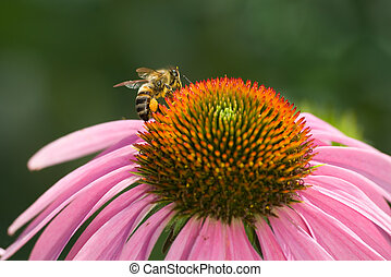 Bee on the flower echinacea is photographed close-up