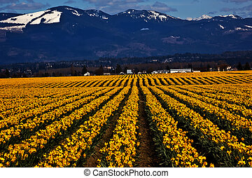 Spring Yellow Daffodil Rows Flowers Snow Mountains Skagit Valley Washington State Pacific Northwest