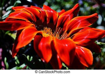 krebsiana,  Gazania, flor