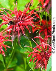 Bergamot flowers - Red bergamot flowers in the garden in...