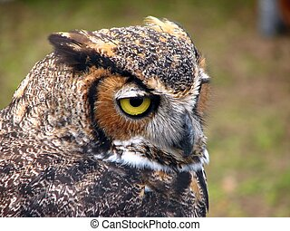 Great Horned Owl - A beautiful horned owl staring from his...