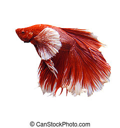 fighting fish isolated