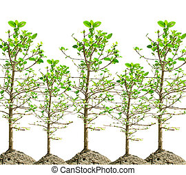 mangrove tree isolated white
