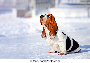sad dog Basset Hound in winter - sad dog Basset Hound sits...