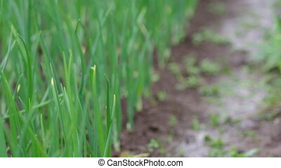 view of chive on the field.plantation onions under heavy...