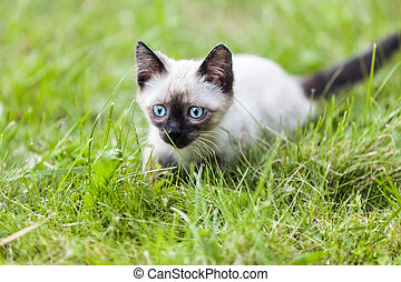 Cat animal - Feline animal pet siamese domestic cat walking...