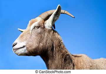 Goat side profile with blue sky background - Goat standing...