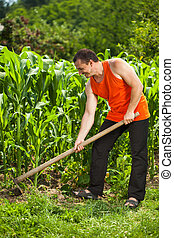 Young farmer weeding in a corn field - Young farmer with hoe...