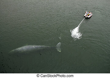 Gray Whale Rescue, Klamath River, California, USA
