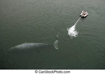 Gray Whale Rescue, Klamath River, California, USA
