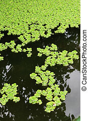 Water garden - Green plants growing in a water garden - copy...