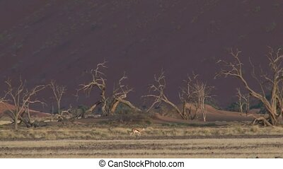 Sossusvlei, Namibia - Thomson Gazelle walking in front of...