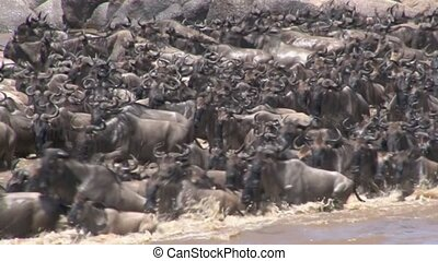 Mara River crossing - Huge herd of Wildebeests crossing the...