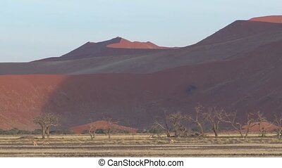 Sossusvlei, Namibia - Thomson Gazelles walking in front of...