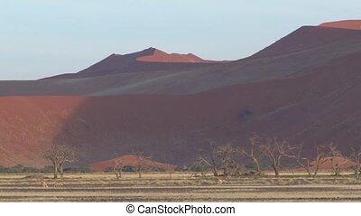 Sossusvlei, Namibia - Thomson Gazelles walking in front of...