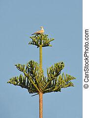 poco, tórtola, perched, araucaria, chilensis, árbol