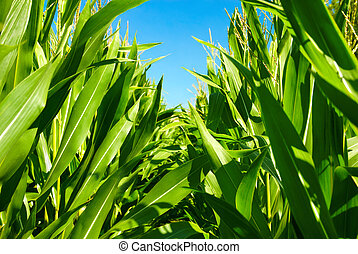 In the middle of the corn plants - Corn plant rows viewed...