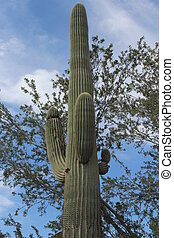 Saguaro Cactus in Arizona Desert