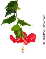 red hibiscus flower - red hibiscus flower with branch...