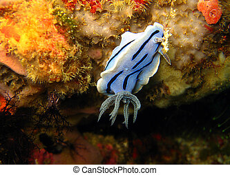 Chromodoris Willani, San Miguel, Ticao, Philippines