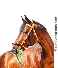 portrait of amazing Trakehner stallion in spainish halter -...
