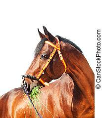 portrait of amazing Trakehner stallion in spainish halter -...