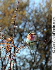 Lilac-breasted Roller in a Thorny Bush, Mahangu National...