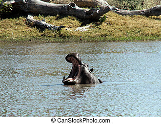 Hippopotamus with Wide-open Mouth, Moremi Game Reserve,...